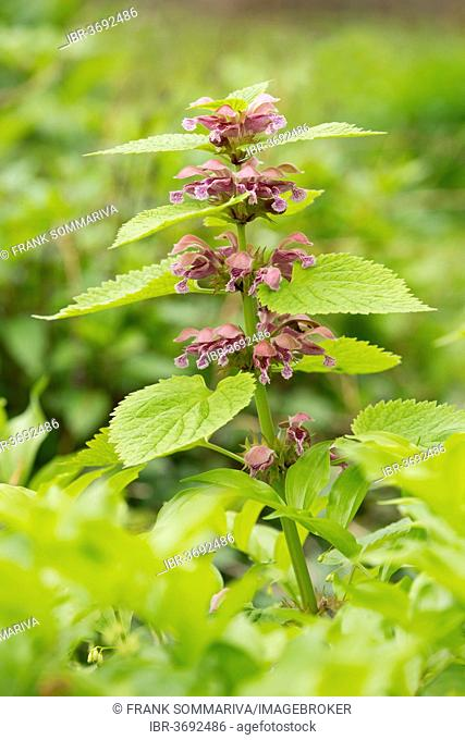 Giant Dead Nettle or Deadnettle (Lamium orvala), flowers and leaves, ornamental plant, native to the northern part of Southern Europe and Southeastern Europe