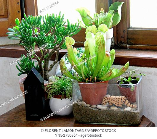 Ambiance of different carnivorous plants in pot indoor