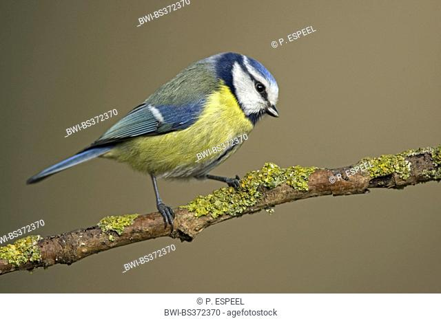 blue tit (Parus caeruleus, Cyanistes caeruleus), sitting on a branch, Belgium, Hainaut