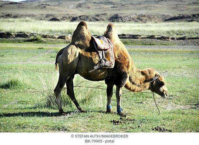 Grazing Bactrian camel with a saddle Mongolia