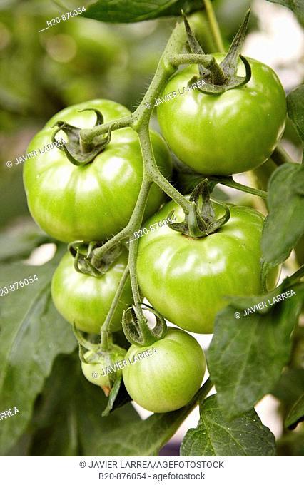 Tomatoes in greenhouse, Nuarbe, Azpeitia, Gipuzkoa, Basque Country, Spain