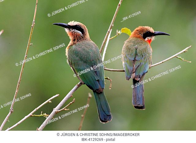 White-fronted Bee-eaters (Merops bullockoides), adult pair, perched, Kruger National Park, South Africa