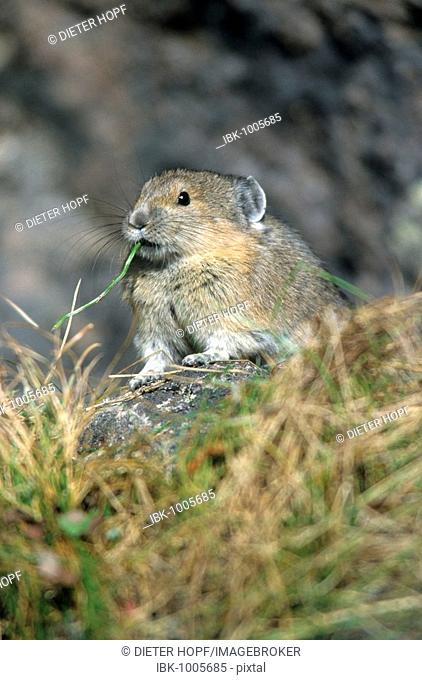 North American Pika, Rock Rabbit or Coney (Ochotona princeps), Mount Robson National Park, British Columbia, Canada, North America