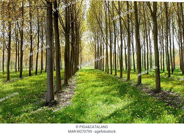 poplar groves, monferrato, piemonte, italy
