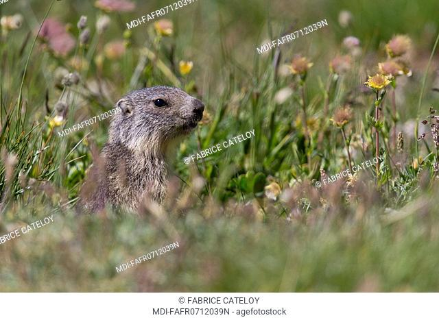 Nature - Fauna - Marmot - Young marmot in the natural regional park of Queyras