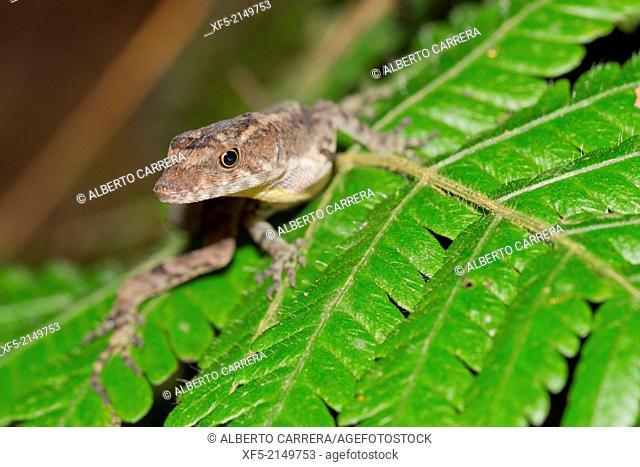 Anolis, Anole Lizard, Tropical Rainforest, Costa Rica, Central America, America