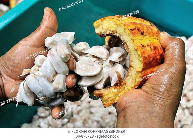 Separating cocoa beans from the pods from the cocoa harvest, Sapecho, Alto Beni, Bolivia, South America