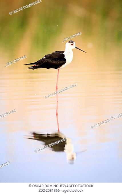 Black-winged Stilt (Himantopus himantopus) standing in water. Ivars Lake. Lleida province. Catalonia. Spain