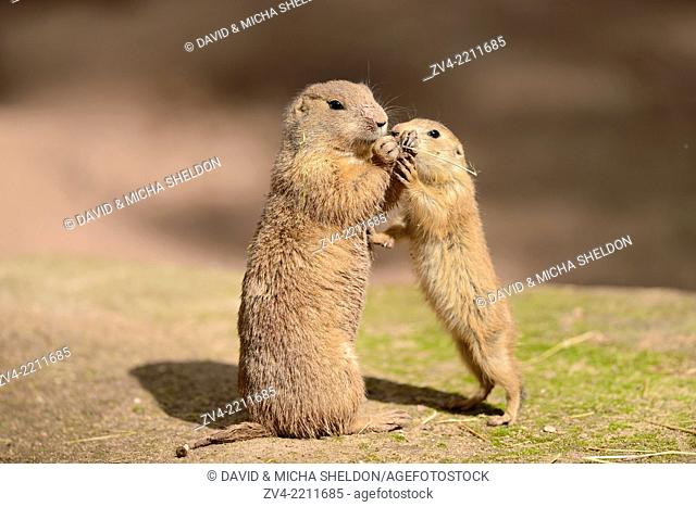 Close-up of a black-tailed prairie dog (Cynomys ludovicianus) mother with her youngster in spring