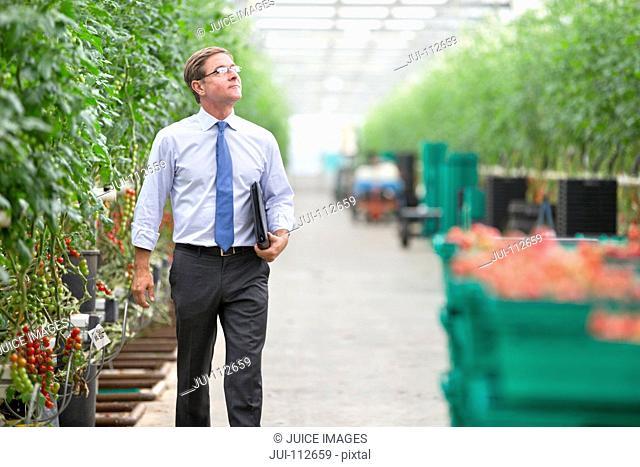 Businessman walking along tomato plants in greenhouse