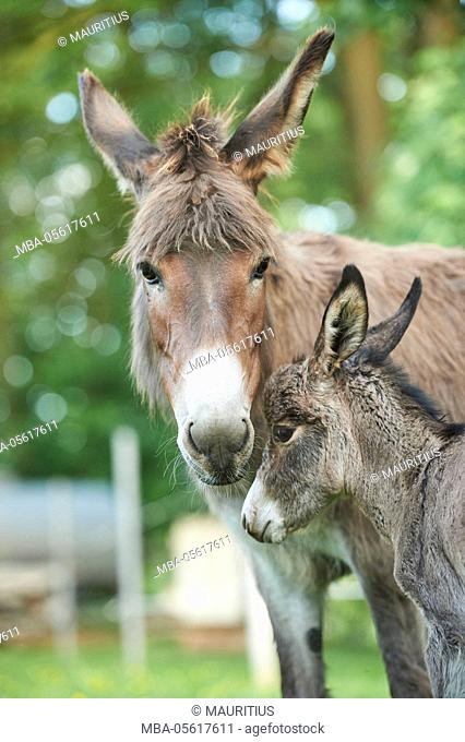 Domestic donkeys, Equus asinus asinus, mare, foal, portrait, frontal, looking at camera