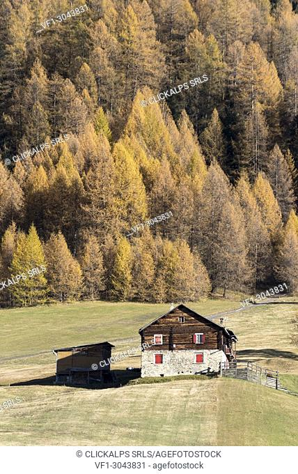 The hut and the forest in autumn, Livigno, Province of Sondrio, Valtellina, Lombardy, Italy, Europe