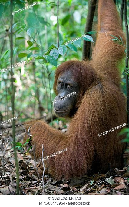 Sumatran Orangutan (Pongo abelii) female, Gunung Leuser National Park, north Sumatra, Indonesia