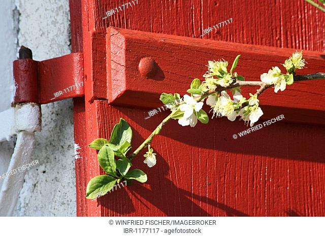 Apple blossom branch in front of red shutters