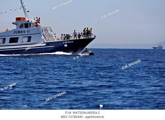 Bottlenose Dolphin - playing / bow riding in front of whale watching boat in the strait of Gibraltar (Tursiops truncatus)