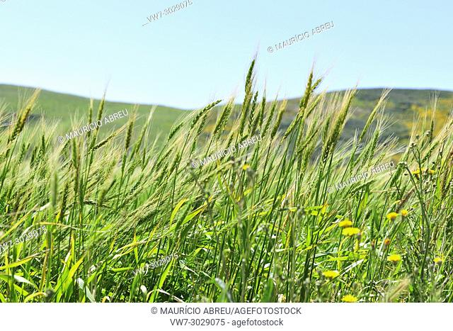 Harvest wheat. Sudoeste Alentejano and Costa Vicentina Nature Park, the wildest atlantic coast in Europe. Portugal