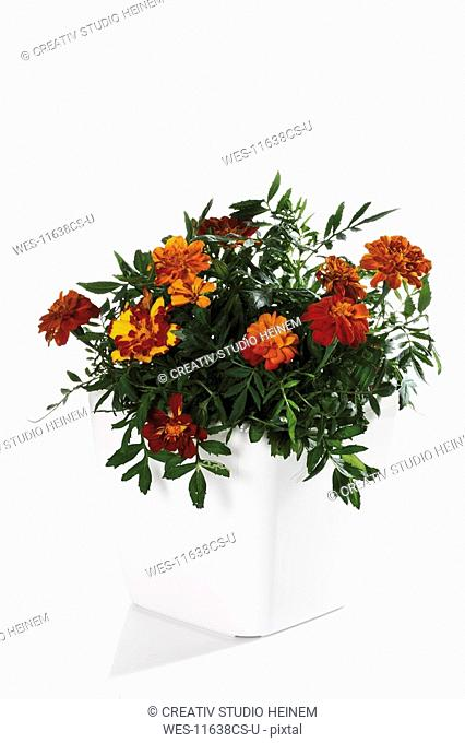 Tagetes flowers in flower pot