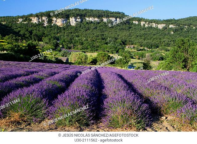 Lavender fields (Lavandula angustifolia), in Saignon, Apt district, in Vaucluse department and Provence-Alpes-Cote d'Azur region. France. Europe