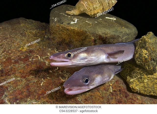 Deep sea. Conger eel. Juvenile conger. (Conger conger). Eastern Atlantic. Galicia. Spain. Europe