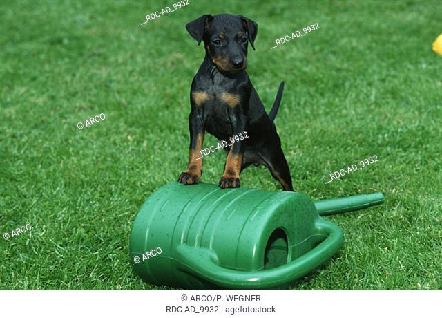Manchester Terrier puppy 6 weeks on watering can