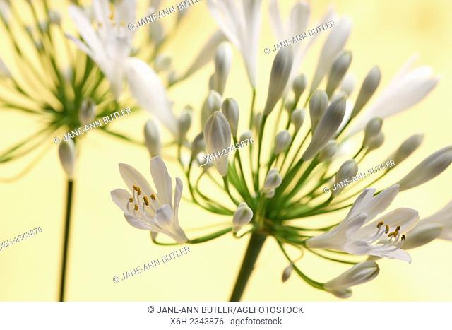 two romantic agapanthus stems - the flower of love