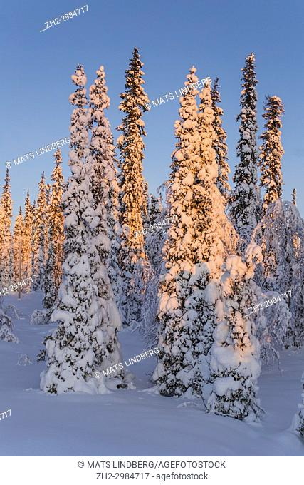 Winter landscape in sunset with nice blue color in the sky, snowy trees and plenty of snow, Gällivare, Swedish Lapland, Sweden