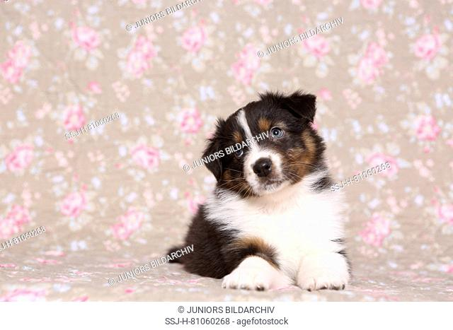 Australian Shepherd. Puppy (6 weeks old) lying. Studio picture seen against a floral design wallpaper. Germany
