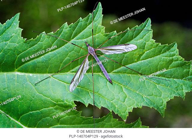 Marsh crane fly (Tipula oleracea) perched on leaf