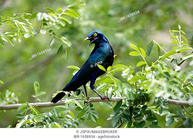 Blue-Eared Glossy Starling (Lamprotornis chalybaeus), adult in tree, Kruger National Park, South Africa, Africa