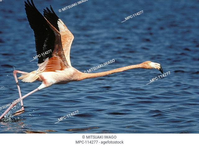 GREATER FLAMINGO (Phoenicopterus ruber),  TAKING OFF FROM WATER, AFRICA