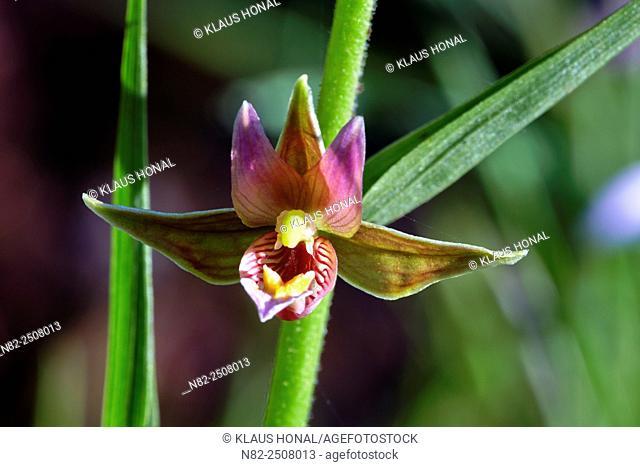 Giant Helleborine or Stream Orchid flower Epipactis gigantea in full blossom - Endemic in North America