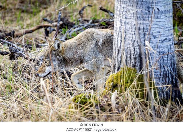 Eastern Coyote (Canis latrans var.), Killarney Provincial Park, Ontario, Canada
