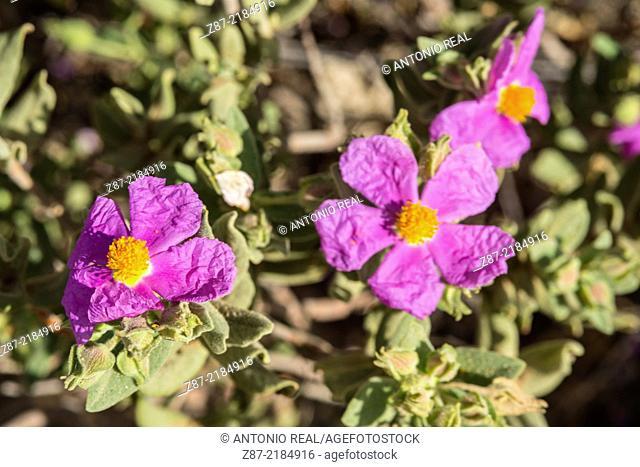 Rockrose (Cistus albidus), Microreserve Arenales de Caudete, Caudete, Albacete province, Castilla-La Mancha, Spain