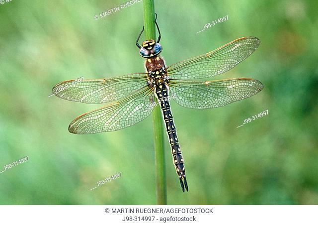 Lesser Hairt Dragonfly (Brachytron pratense). Camargue. Southern France