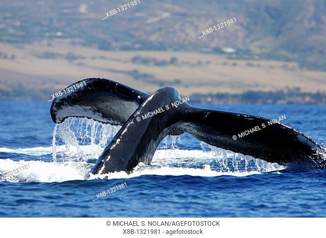 Humpback Whale Megaptera novaeangliae in the AuAu Channel, Maui, Hawaii, USA  Pacific Ocean