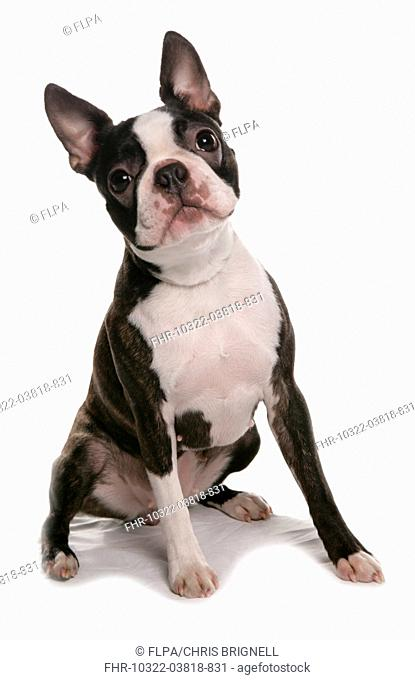 Domestic Dog, Boston Terrier, adult female, sitting
