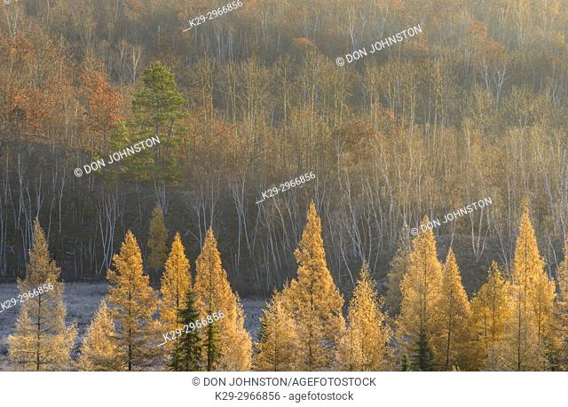 Autumn larches in the morning mist and frost, Greater Sudbury, Ontario, Canada