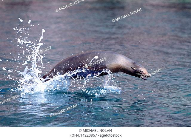 California Sea lion Zalophus californianus young porpoising. Northern Gulf of California, Mexico