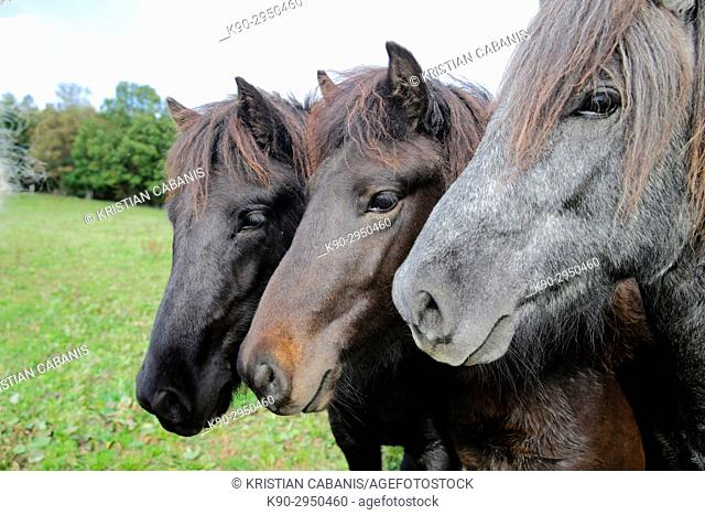 Portrait of three Icelandic horses standing besides eachother on their green meadow, Attenbach, Siegerland, North-Rhein-Westphalia, Germany, Europe