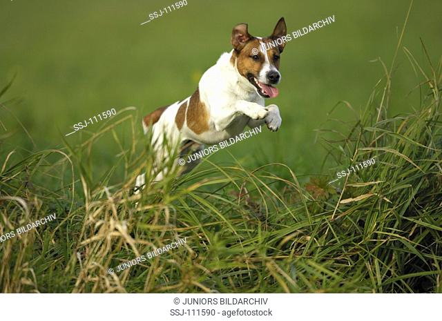 animal,dog,Jack-Russell-Terrier