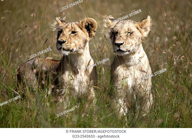 Kenya, Maasai Mara, Young lions (panthera leo) in field