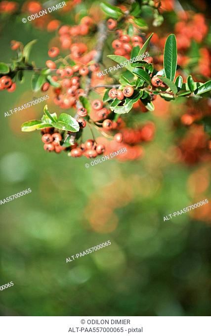 Firethorn Pyracantha, red berries growing on branch