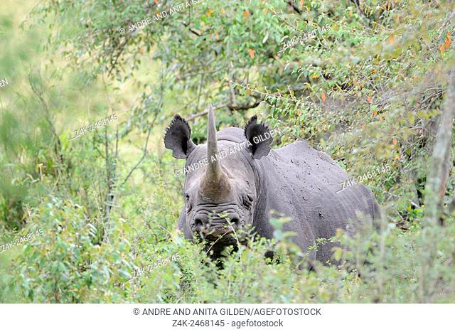Black Rhinoceros (Diceros bicornis) standing between the bushes looking into the camera