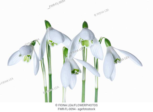 Snowdrop, Galanthus, Studio shot of white flowers