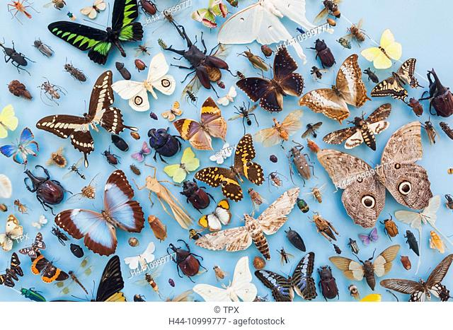 England, Oxfordshire, Oxford, Museum of Natural History, Display of Insects and Butterflies