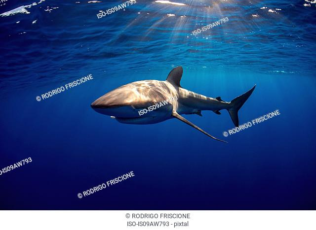 Curious Silky Shark (Carcharhinus Falciformis) swimming close to surface
