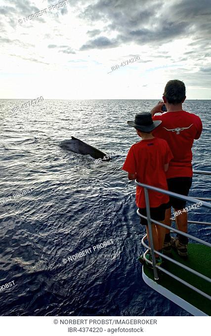 Man and boy on a boat watching humpback whale (Megaptera novaeangliae), Mooloolaba, Queensland, Pacific, Australia