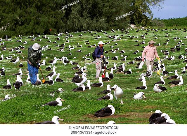 Hawaï , Midway , Sand Island , Laysan Albatross ,  Phoebastria immutabilis , count of the nests