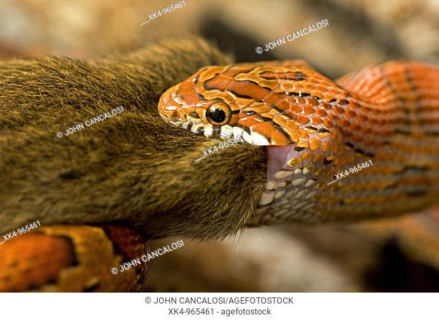 Corn Snake (Elaphe guttata guttata) eating mouse, captive, USA