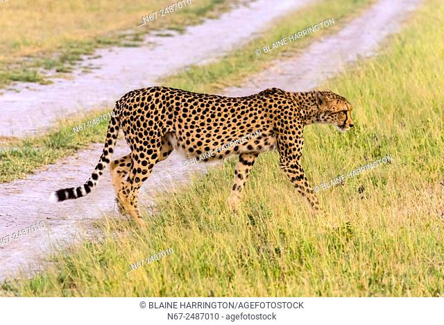 Cheetah, Nxai Pan National Park, Botswana